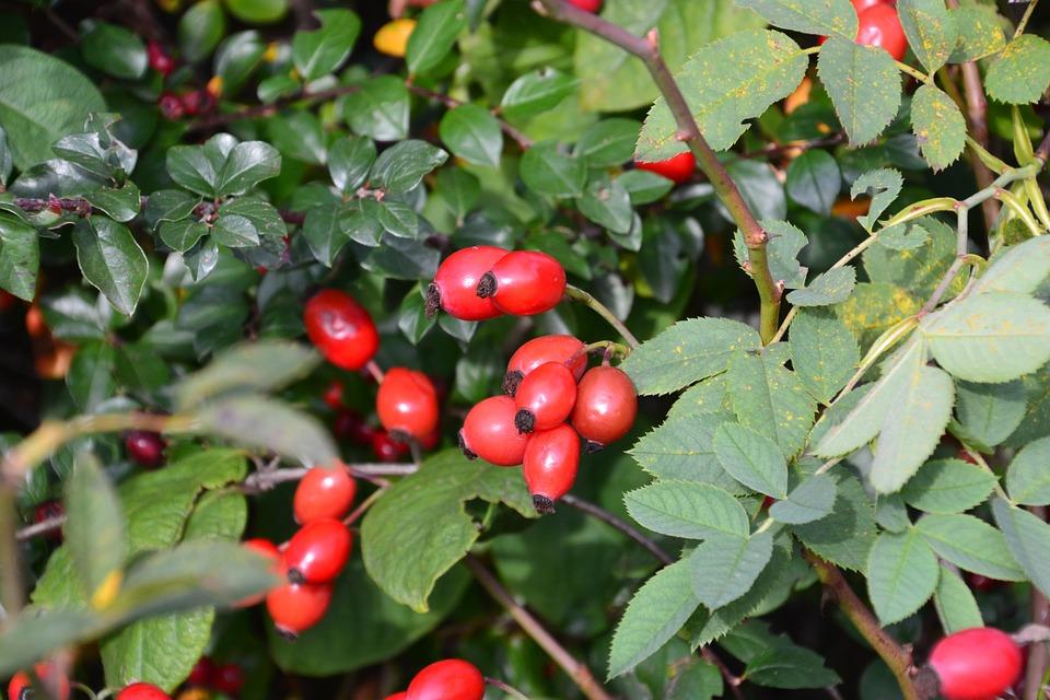 Eglantier ou rosier sauvage (semences) - Le Potager du Gailleroux