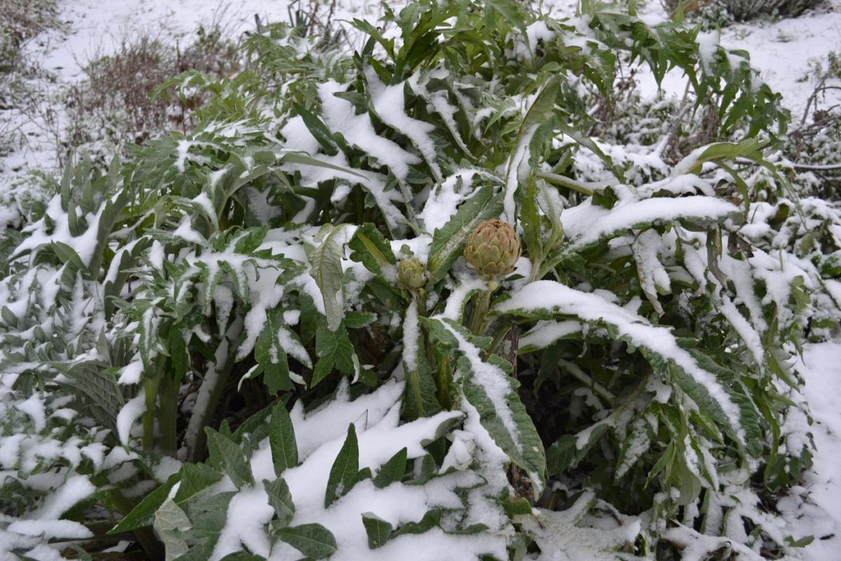 Artichaut l'hiver