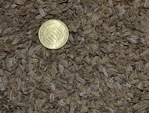 Fenouil bronze
