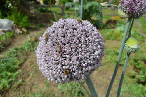 Poireau Elboeuf en fleurs